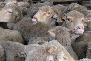 Sheep on a crowded live export vessel