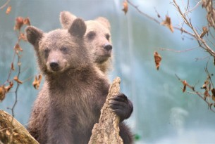 The bear cubs Bamse and Kenya