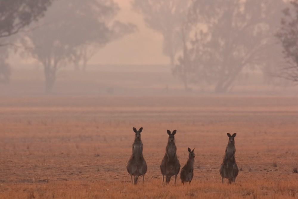 Kangaroos at the edge of the Australian bushfires
