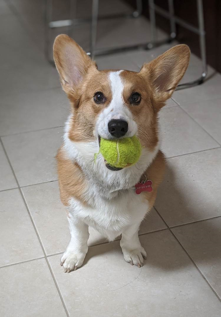 Ollie the corgi playing fetch