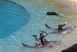 Dolphins performing at Sea World, Australia - World Animal Protection
