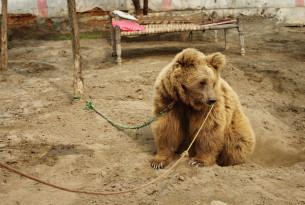 Bear in captivity