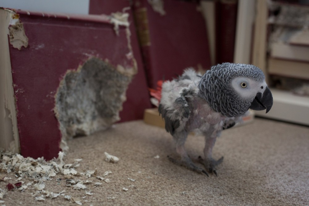 A pet African grey parrot who has plucked out its feathers due to stress - Wildlife. Not pets - World Animal Protection