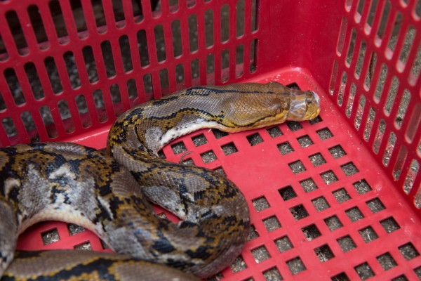 Keeping wild animals like snakes in confined conditions close to humans can lead to diseases