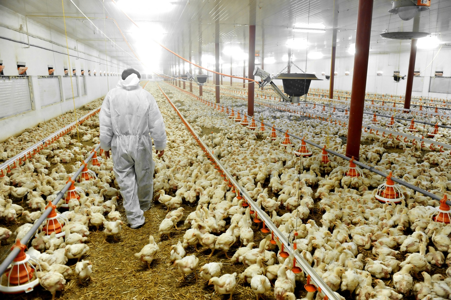 Man walking through crowded chicken shed - World Animal Protection