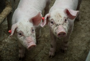 Piglets at a higher welfare indoor farm in the Netherlands - World Animal Protection
