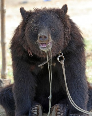 bears, bear baiting, bear, pakistan