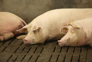 Pigs lying down at Dexing Farm near Shantou city in Guangdong Province