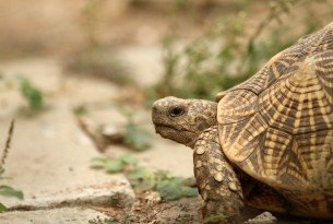 Loopholes in cruel illegal wildlife trade are driving tortoises towards extinction
