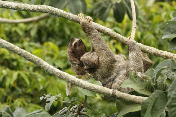 A sloth and her baby climb a tree
