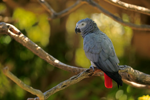 Pictured: An African Grey Parrot in the wild. Photo credit: Jurgen & Christine Sohns / Getty Images