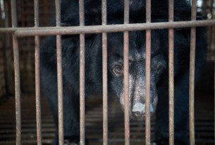 Pictured: a bear kept caged and farmed to fuel the bear bile industry.