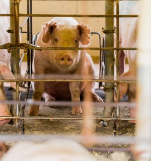 Factory farming - Cruelty - World Animal Protection