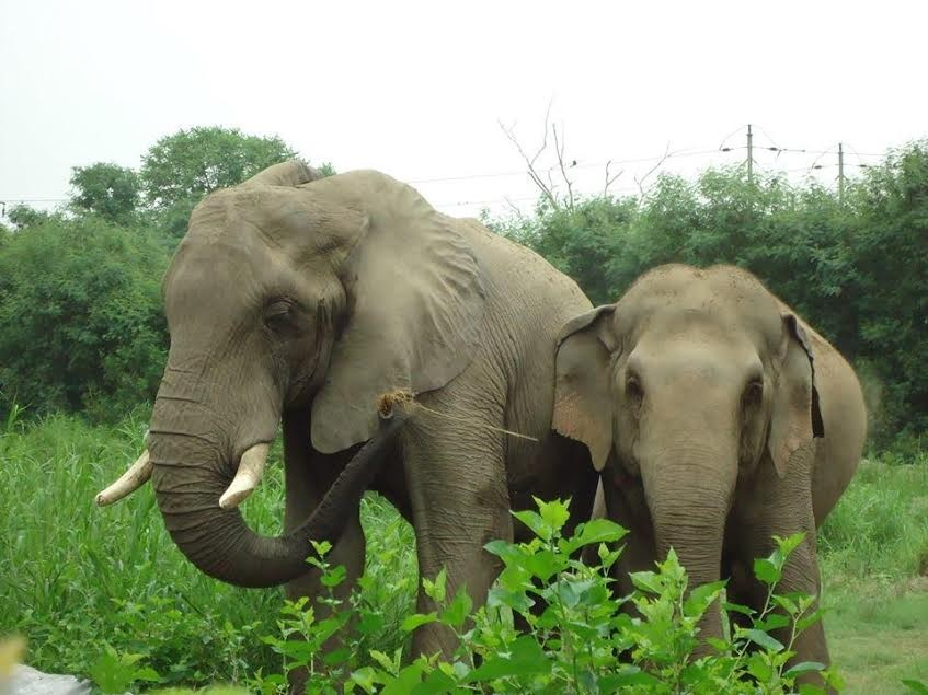 African and Asian elephant in zoo