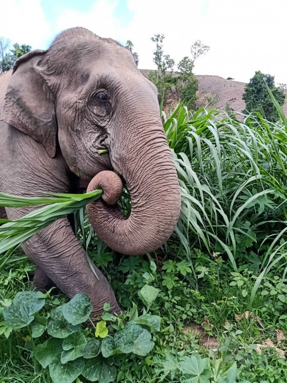 Pictured: Mae Dok munching on grass planted specially for her and the other retired elephants of BEES.