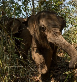 Elephant at Happy Elephant Care Valley in Thailand - Wildlife. Not entertainers - World Animal Protection
