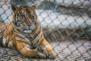 A caged tiger.