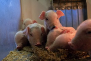 Piglets on a higher welfare farm