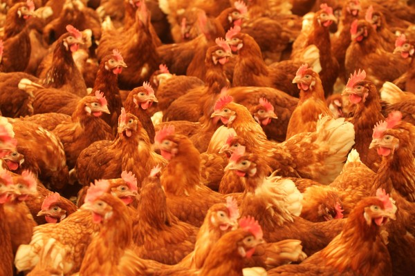 Cage-free chickens in Easterbrook, Canada