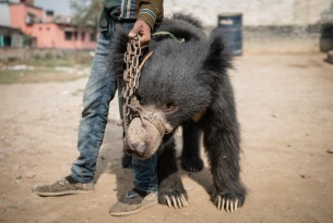 Rescued 'dancing' bear tragically dies after she's secretly sent to substandard zoo