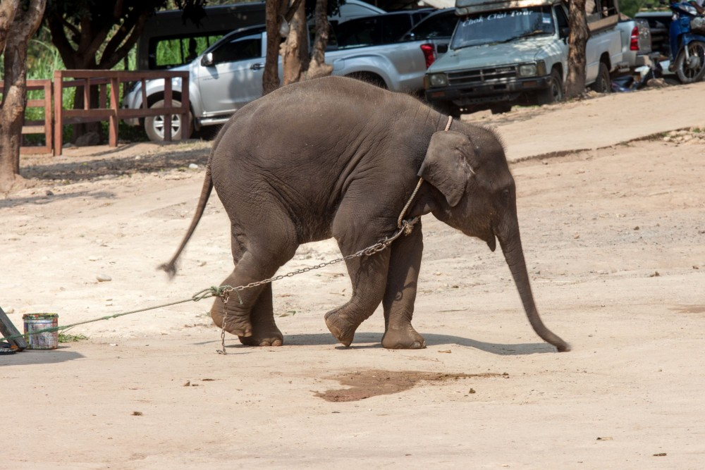 Pictured at a venue where elephants are kept in captivity and used to entertain tourists.