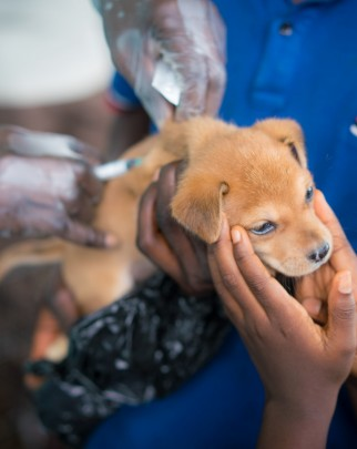 puppy is brought to get a rabies vaccination in Freetown, Sierra Leone