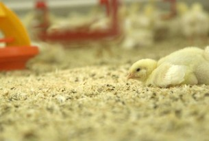 Chick on the floor in a farm - World Animal Protection - Change for chickens