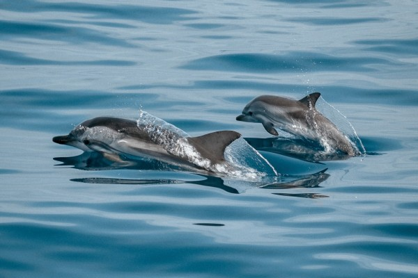 Dolphins swimming in the wild - NOAA / Jonas Von Werne