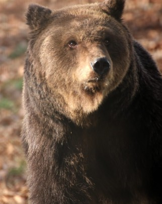 One of the resident bears at the Libearty Bear Sanctuary.