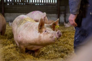 World Animal Protection and Nestle work together to protect farm animals