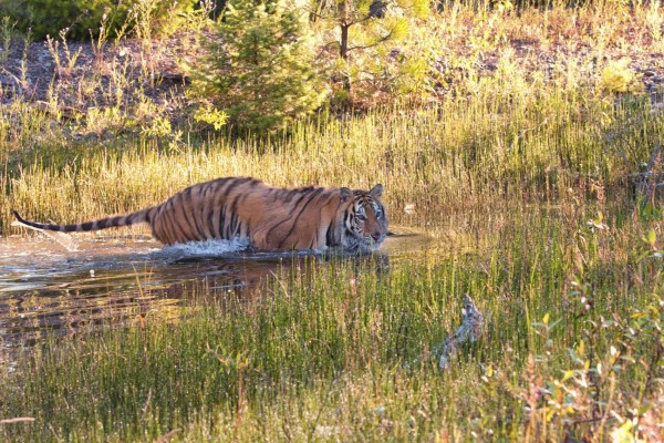 A wild tiger takes a swim - World Animal Protection