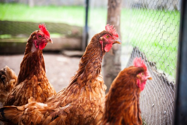 Change for Chickens - World Animal Protection