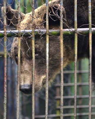 Closeup of bear in a cage