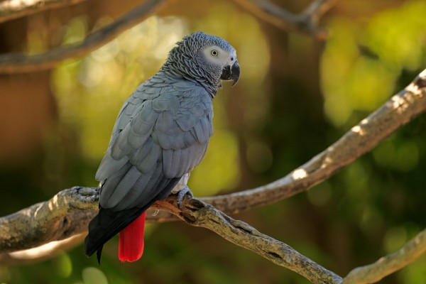 An African Grey Parrot in the wild. Credit: Jurgen & Christine Sohns / Getty Image
