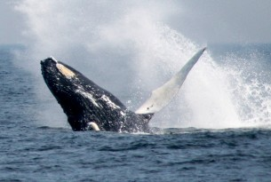IUCN votes to halt Japan's 'scientific' whaling
