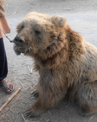 Himalayan brown bear Lucia pictured before her handover to BRC.