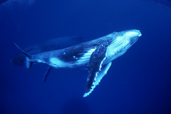 A humpback whale calf (foreground) and mother (background), Pacific Ocean. Credit Line: Bryant Austin