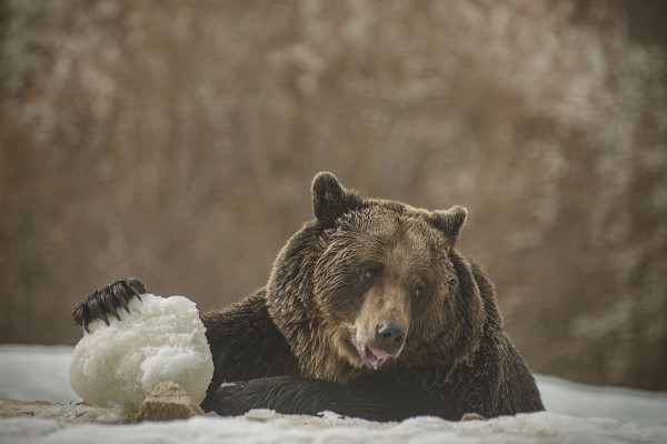 A bear playing in the snow at the Romanian Sanctuary