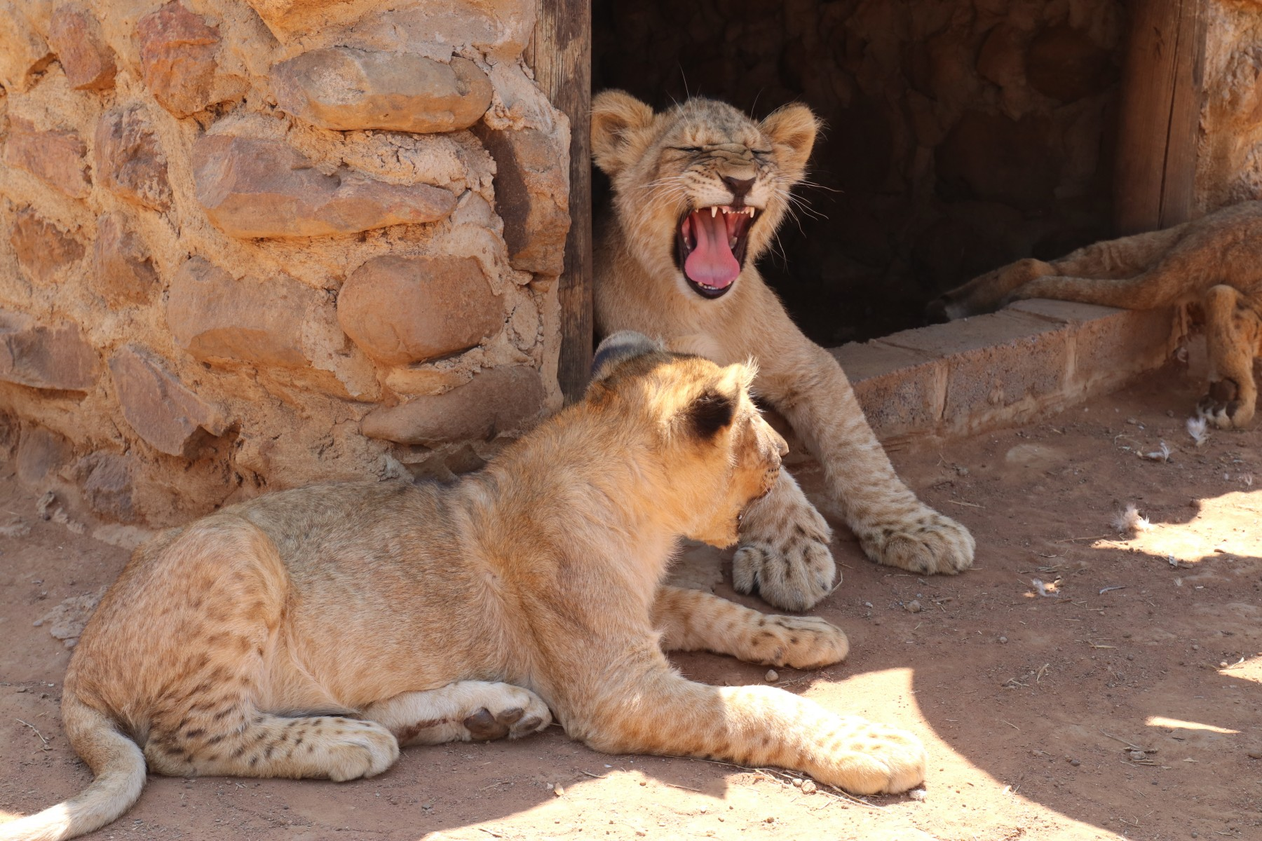 Two lion cubs at a facility in South Africa.