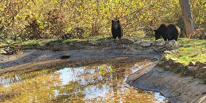 Two bears peer over a pond at the sanctuary. This photo was taken in the autumn, and the leaves are a brown-gold colour, reflecting in the pond.