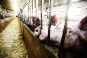 "The Real ""American Horror Story"" – Factory Farms"