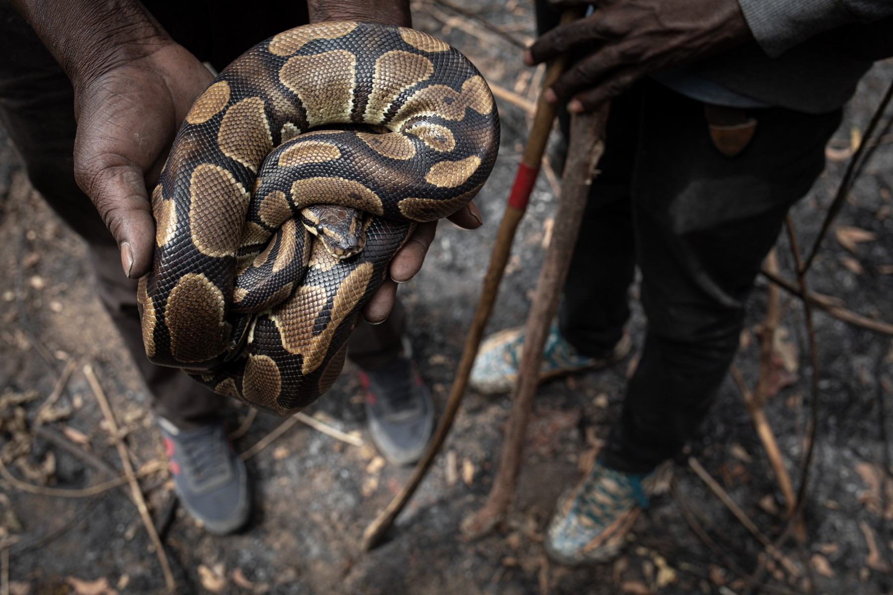 Ball python held by hunter - photo by Aaron Gekoski for World Animal Protection