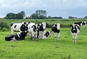Herd of cows at 'free choice' dairy farm