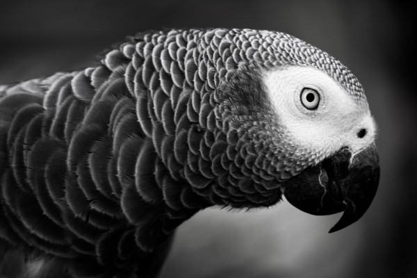 Pictured: an African Grey Parrot in the wild. Credit Line: Nature's Gifts Captured / Getty Images