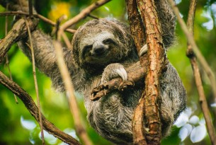 A three-toed sloth released back to the wild in Colombia. Credit: World Animal Protection