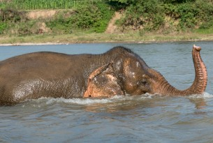The elephant Mae Tu bathing in the rive at MandaLao elephant conservation, Laos