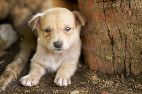 Puppy on Ambae Island in Vanuatu after the eruption of Ambae Volcano - Animals in disasters - World Animal Protection