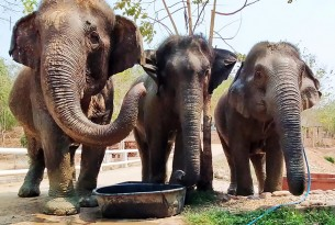 Elephants eating at BLES (Boon Lott's Elephant Sanctuary)