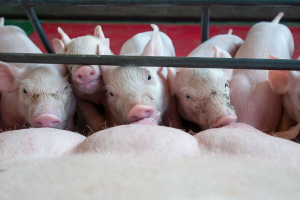 Brazilian farm gives pigs better lives