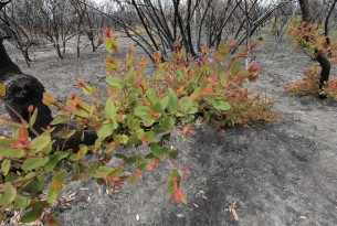 Regrowth after Australian bushfires